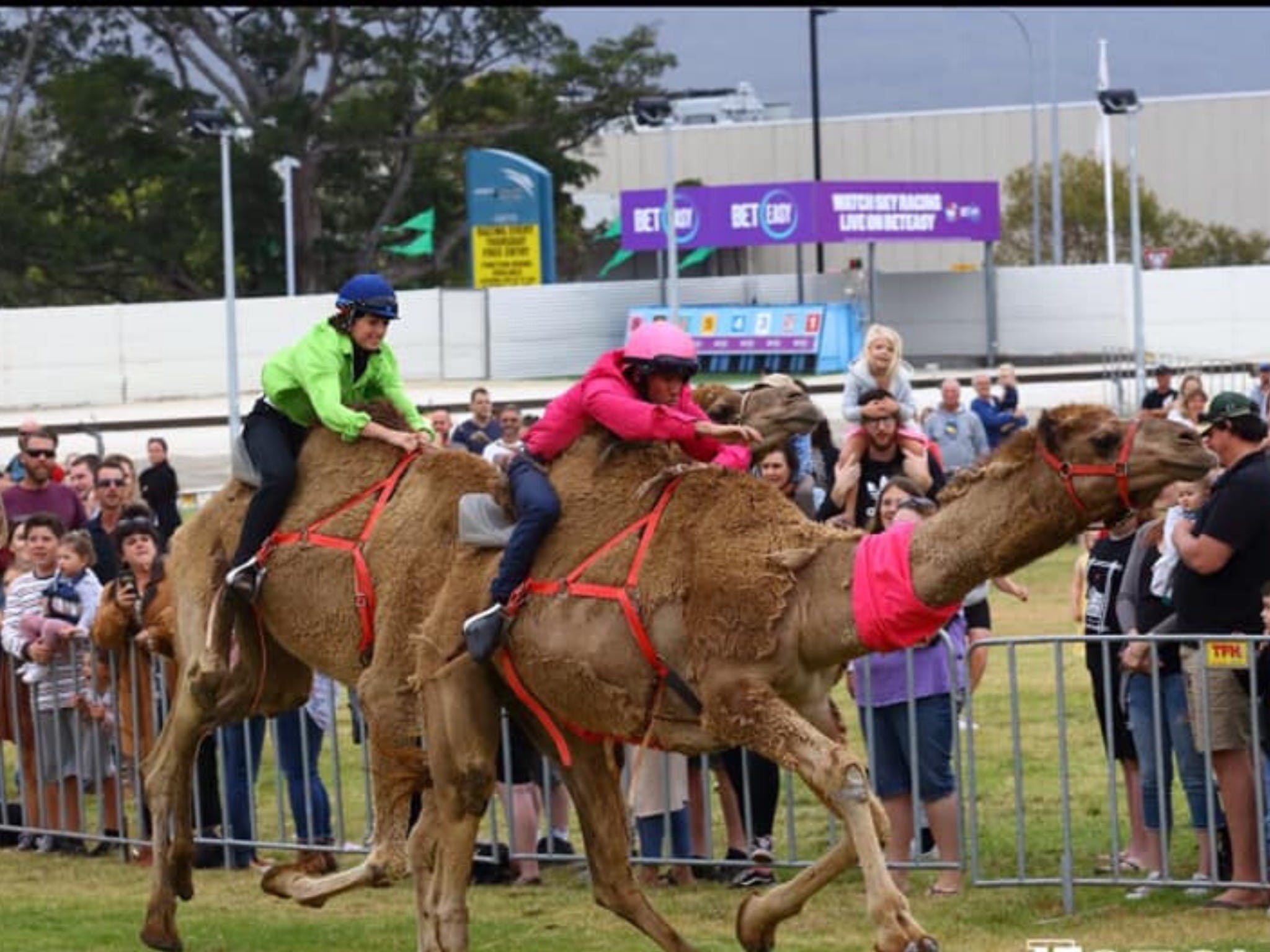 Camel Races at Gosford Showgrounds - Pubs Perth