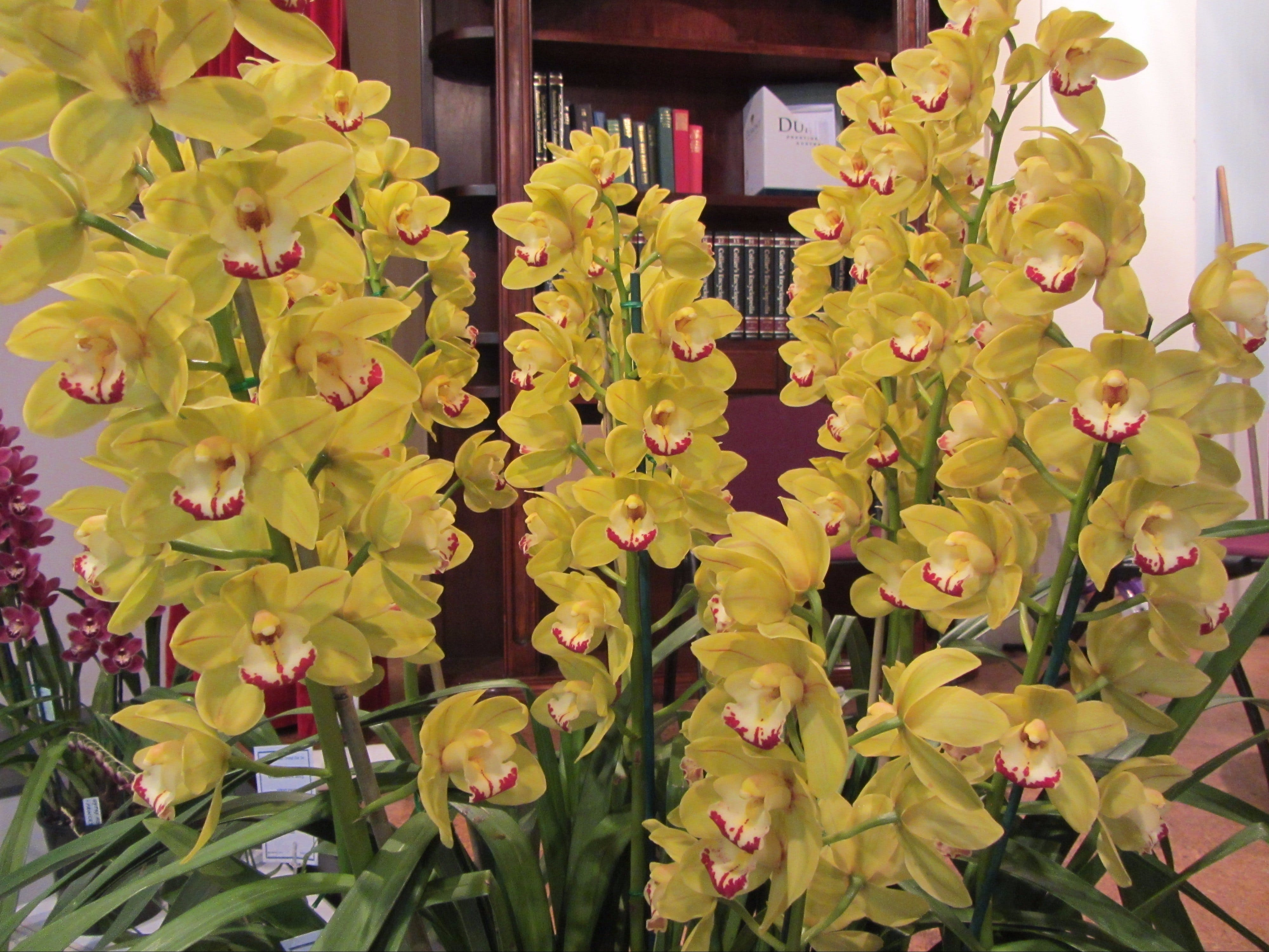 Sapphire Coast Orchid Club Winter Orchid Show - Pubs Perth
